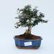 Room bonsai - Olea europaea sylvestris - Olive European bacilli - 1/5