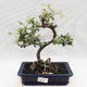 Indoor bonsai -Eleagnus - Hlošina - 1/5