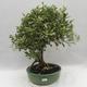 Indoor bonsai -Eleagnus - Hlošina - 1/6