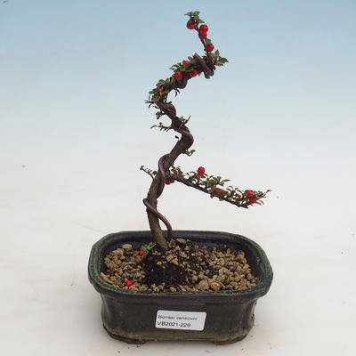 Outdoor bonsai-Cotoneaster - Rock Garden