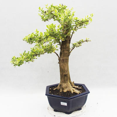 Indoor bonsai - Duranta erecta Variegata - 1
