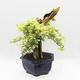 Indoor bonsai - Duranta erecta Variegata - 1/6