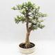 Indoor Bonsai - Fraxinus uhdeii - Indoor Ash - 1/6