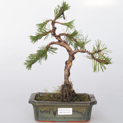 Outdoor bonsai - Pinus mugo - Pine kneec
