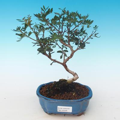 Indoor bonsai-Pistachio PB2191230 - 1