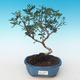 Indoor bonsai-Pistachio PB2191230 - 1/3