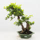 Indoor bonsai - Duranta erecta Aurea - 1/6
