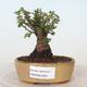 Outdoor bonsai - Ulmus parvifolia SAIGEN - Small-leaved elm - 1/6