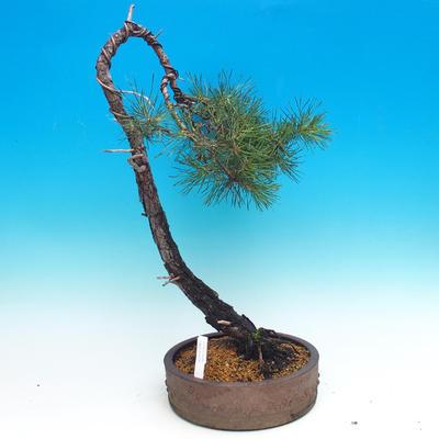 Outdoor bonsai - Pinus Sylvestris - Forest Pine - 1