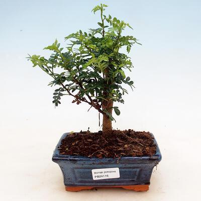 Indoor bonsai - Zantoxylum piperitum - Peppermint - 1