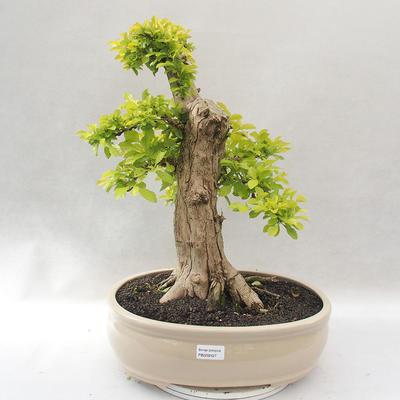 Indoor bonsai - Duranta erecta Aurea - 1