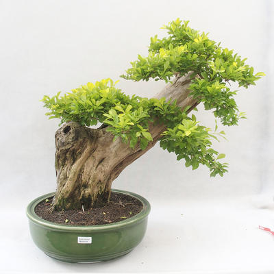 Indoor bonsai - Duranta erecta Aurea - 1