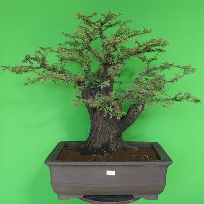 Indoor bonsai - Akacia Arabica - 1
