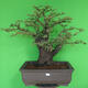 Indoor bonsai - Akacia Arabica - 1/7