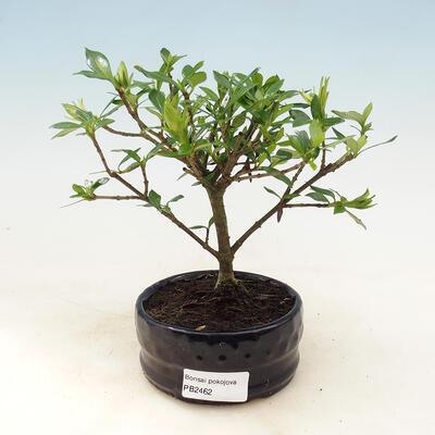 Indoor bonsai - Gardenia jasminoides-Gardenia - 1