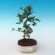 Indoor bonsai - Carmona macrophylla - Tea fuki 405-PB2191248 - 1/5