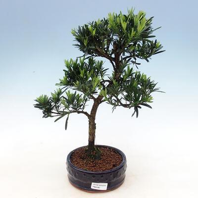 Indoor bonsai - Podocarpus - Stone thous - 1