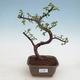 Indoor bonsai - Portulakaria Afra - Tlustice - 1/2