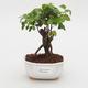 Room bonsai -Ligustrum chinensis - privet - 1/3