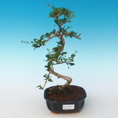 Indoor bonsai - Carmona macrophylla - Tea fuki 405-PB2191250 - 1