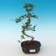 Indoor bonsai - Carmona macrophylla - Tea fuki 405-PB2191250 - 1/5
