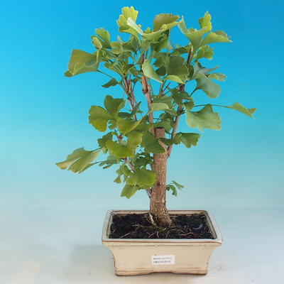 Outdoor Bonsai-Ginkgo Biloba