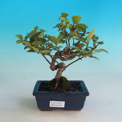 Outdoor bonsai-Ulmus Glabra-Solid stiff - 1