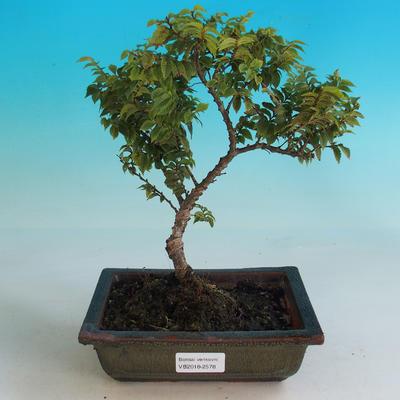Outdoor bonsai-Ulmus Elegantissima Jack. Hillier-Jílm elegant - 1