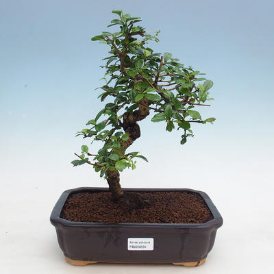 Room bonsai - Tea Fuki - 1