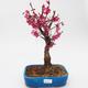 Outdoor bonsai -Japanese apricot - Prunus Mume - 1/6