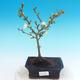 Outdoor bonsai - Chaenomeles superba jet trail - White quince - 1/4