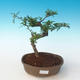 Indoor bonsai - Zantoxylum piperitum - Pepper tree PB2191262 - 1/4