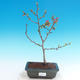 Outdoor bonsai - Chaneomeles japonica - Japanese Quince - 1/4