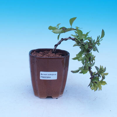 Room bonsai - Duranta erecta Aurea - 1
