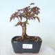 Outdoor bonsai - Maple palmatum DESHOJO - Maple palmate - 1/6