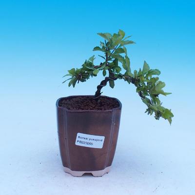 Room bonsai - Duranta erecta Aurea - 1
