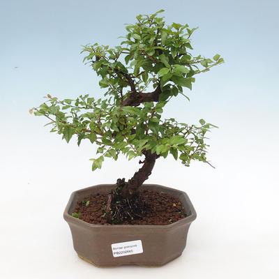 Indoor bonsai - Sagerécie thea - Sagerécie thea - 1