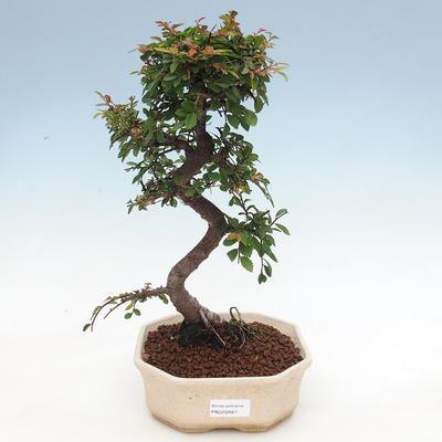 Indoor bonsai - Ulmus parvifolia - Small-leaved elm - 1