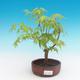 Outdoor bonsai-Acer palmatum Sango Koku- Japanese maple - 1/2