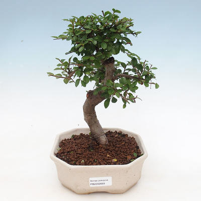 Indoor bonsai - Ulmus parvifolia - Small-leaved elm - 1