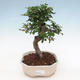 Indoor bonsai - Ulmus parvifolia - Small-leaved elm - 1/3