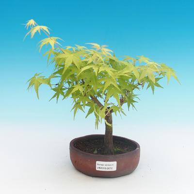 Outdoor bonsai-Acer palmatum Sango Koku- Japanese maple - 1