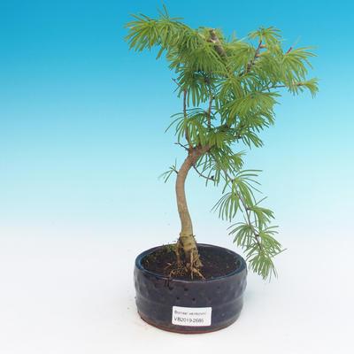 Outdoor bonsai -Pseudolarix amabis-Pamir - 1
