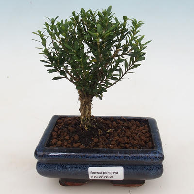 Room Bonsai - Buxus harlandii - Cork boxwood - 1