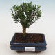Room Bonsai - Buxus harlandii - Cork boxwood - 1/4