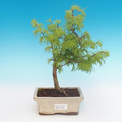 Outdoor bonsai - Pseudolarix amabilis - Pamodřín - 1