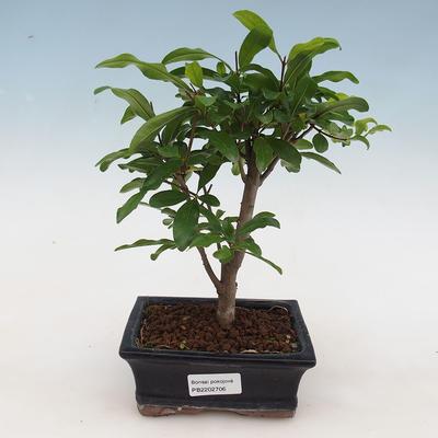 Indoor bonsai-PUNICA granatum nana-Pomegranate - 1