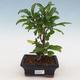 Indoor bonsai-PUNICA granatum nana-Pomegranate - 1/4
