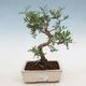 Indoor bonsai-Pistachios - 1/3