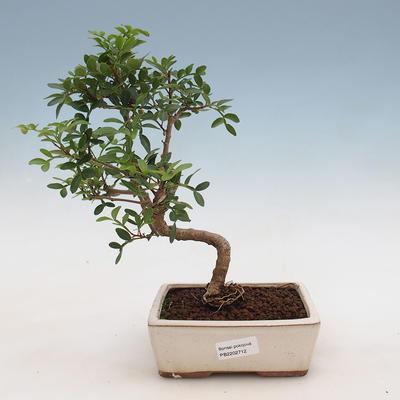 Indoor bonsai-Pistachios - 1